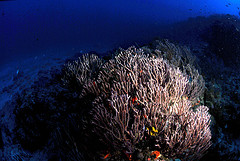 Seafans and coral reefs are surrounded by divers during Phuket Scuba Diving Day Trips